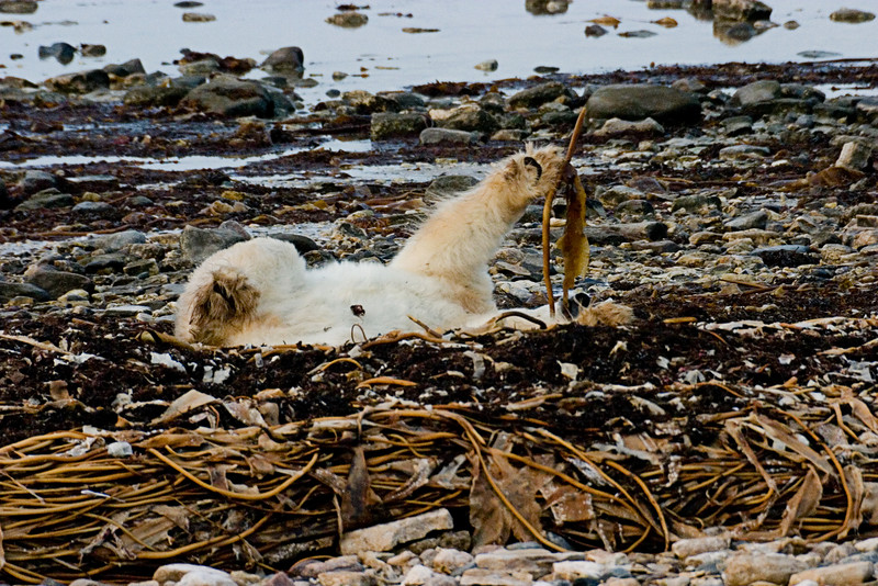 <center>Paw Full of Seaweed  <br><br>Churchill, Manitoba, Canada</center>