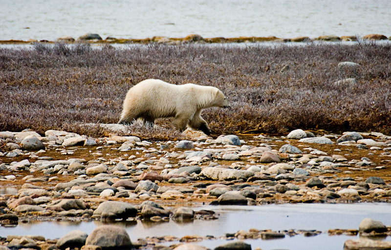 <center>Bear Approach  <br><br>Churchill, Manitoba, Canada</center>