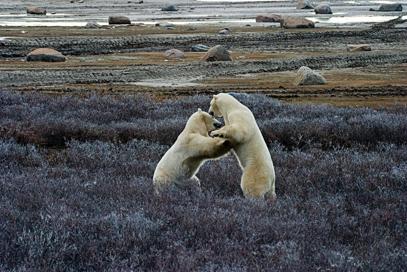 <center>Grappling  <br><br>Churchill, Manitoba, Canada</center>