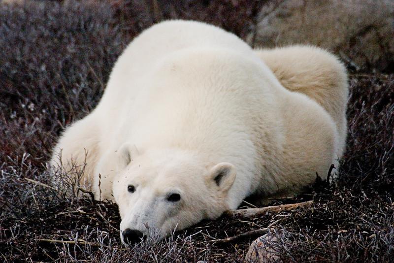 <center>Back to Sleep  <br><br>Churchill, Manitoba, Canada</center>