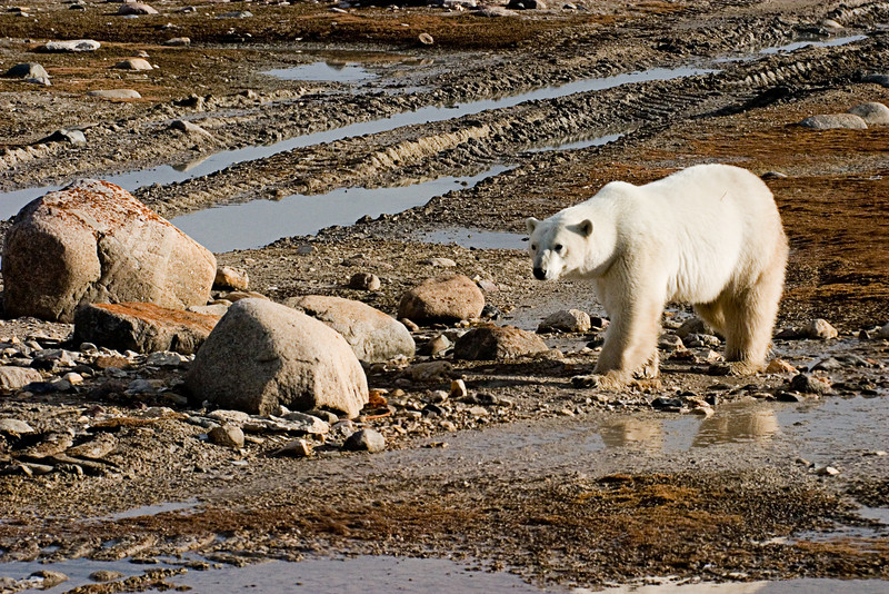 <center>Approaching Bear  <br><br>Churchill, Manitoba, Canada</center>