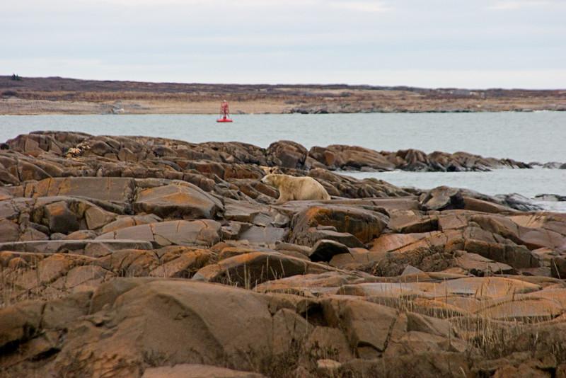 <center>Bear on the Rocks  <br><br>Churchill, Manitoba, Canada</center>