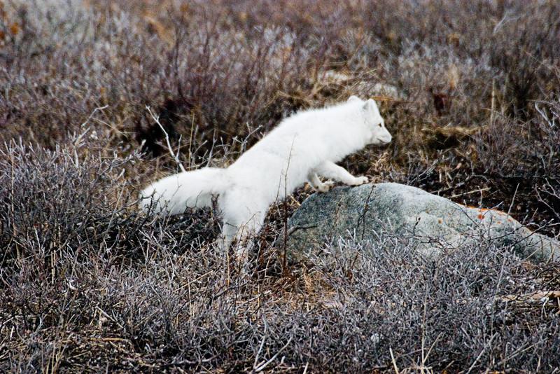 <center>Arctic Fox  <br><br>Churchill, Manitoba, Canada</center>