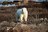 <center>Catching our Scent  <br><br>Churchill, Manitoba, Canada</center>