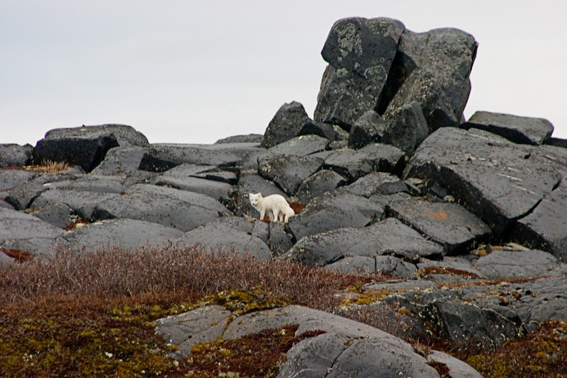 <center>Arctic Fox  <br><br>Churchill, Manitoba, Canada</center>