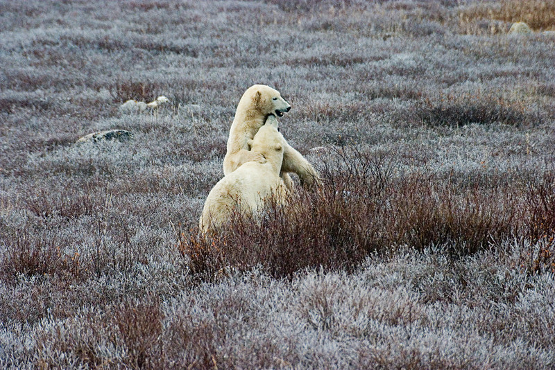 <center>Sparring  <br><br>Churchill, Manitoba, Canada</center>
