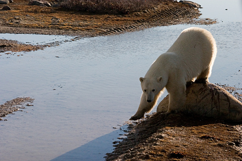 <center>Don't Get My Feet Wet  <br><br>Churchill, Manitoba, Canada</center>