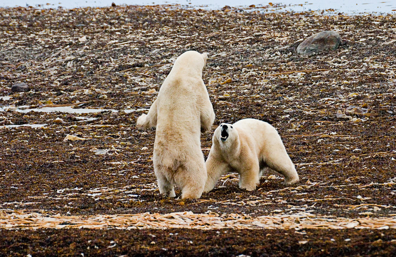 <center>Polar Bear Two-Step  <br><br>Churchill, Manitoba, Canada</center>