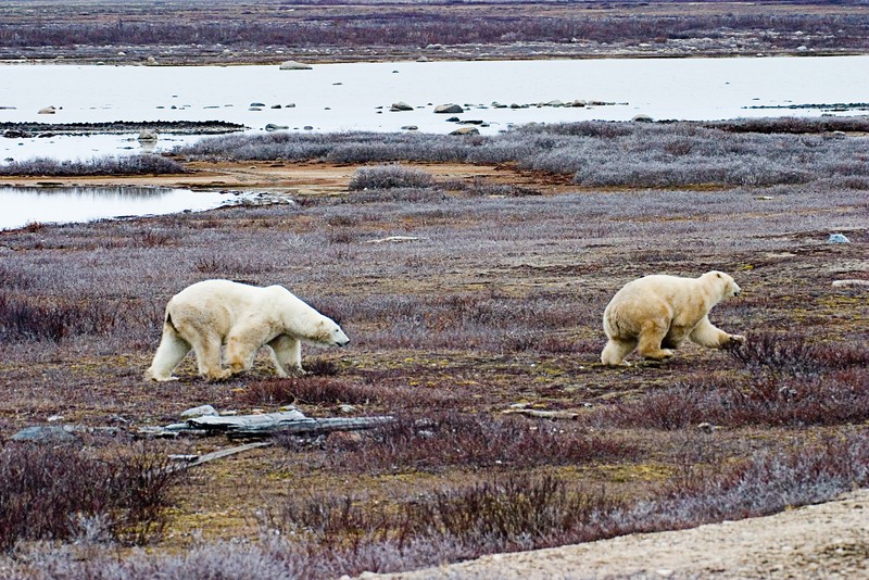 <center>Chasing One Away  <br><br>Churchill, Manitoba, Canada</center>