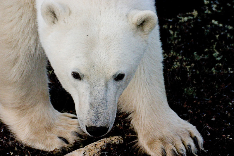 <center>Paws and Jaws  <br><br>Churchill, Manitoba, Canada</center>