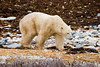 <center>Powerful Stride  <br><br>Churchill, Manitoba, Canada</center>