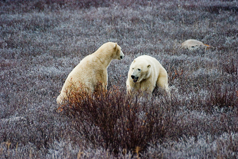 <center>Taunting  <br><br>Churchill, Manitoba, Canada</center>