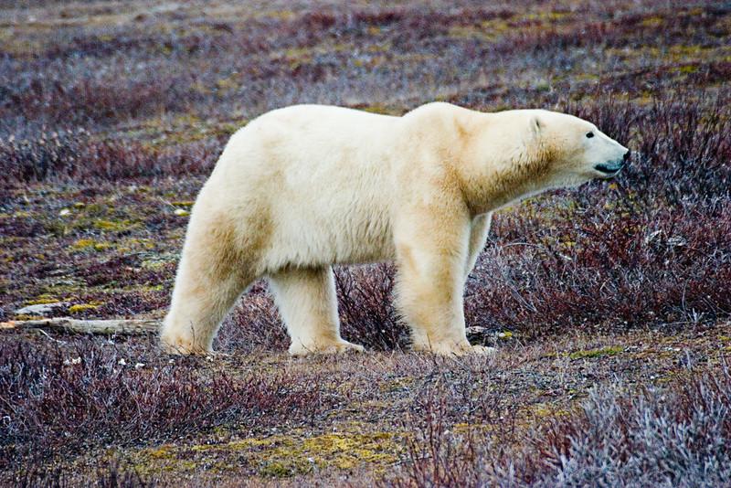 <center>Majestic Bear  <br><br>Churchill, Manitoba, Canada</center>