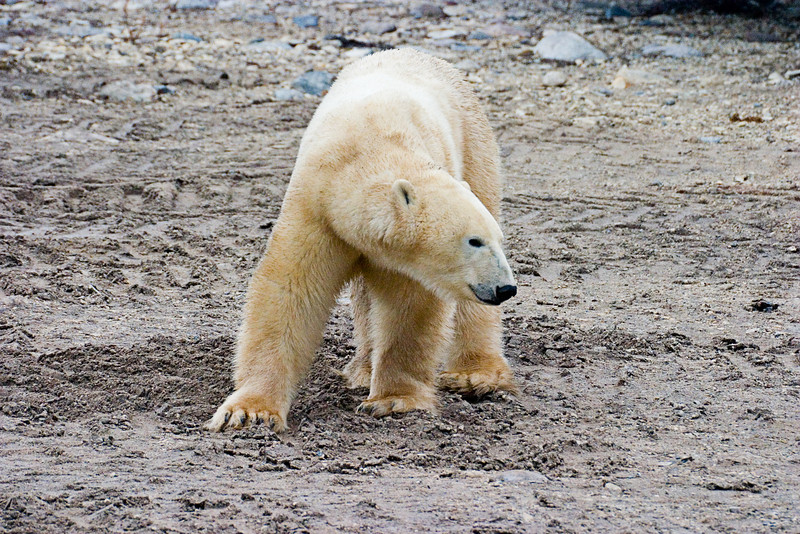 <center>Is This My Good Side?  <br><br>Churchill, Manitoba, Canada</center>