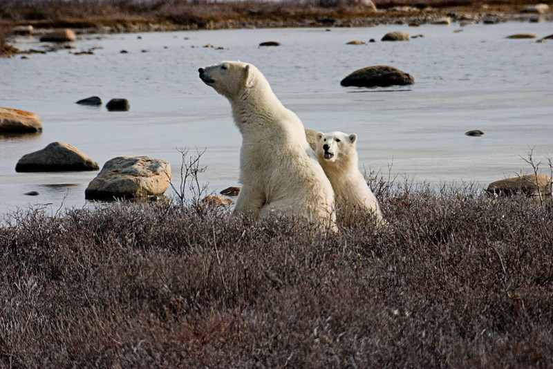 <center>Mom and Cub  <br><br>Churchill, Manitoba, Canada</center>