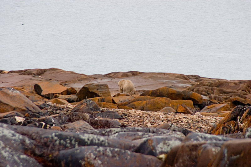 <center>Bear in Churchill  <br><br>Churchill, Manitoba, Canada</center>