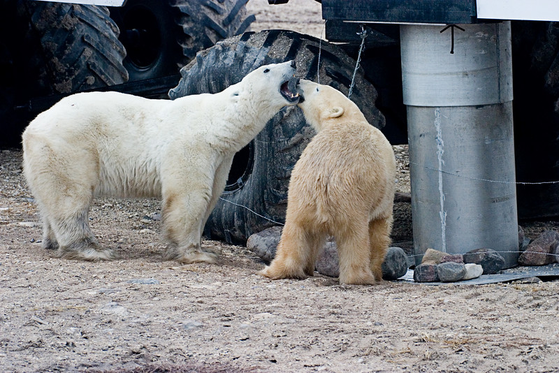 <center>Bears Next to Lodge  <br><br>Churchill, Manitoba, Canada</center>