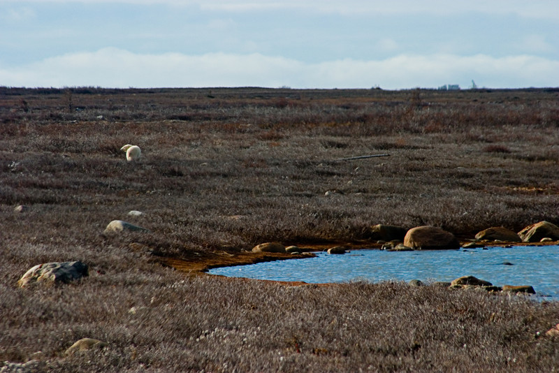 <center>Distant Bears  <br><br>Churchill, Manitoba, Canada</center>