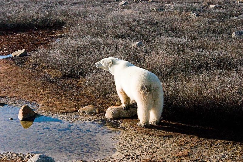 <center>Bored Bear  <br><br>Churchill, Manitoba, Canada</center>