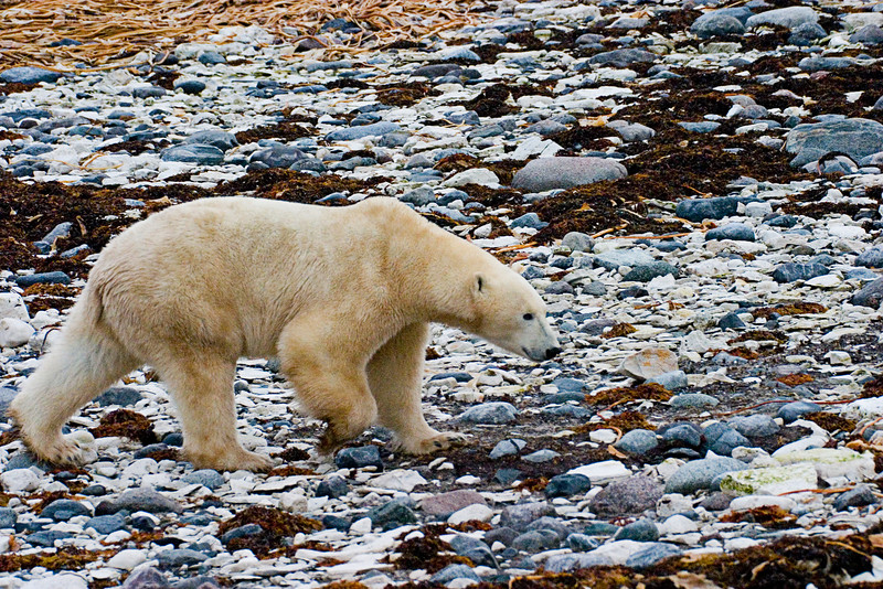 <center>Bear on the Rocks  <br><br>Churchill, Manitoba, Canada</center>