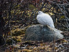 <center>Ptarmigan on the Rocks  <br><br>Churchill, Manitoba, Canada</center>