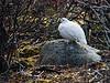 <center>Ptarmigan on the Rocks  <br><br>Churchill, Manitoba, Canada</center>