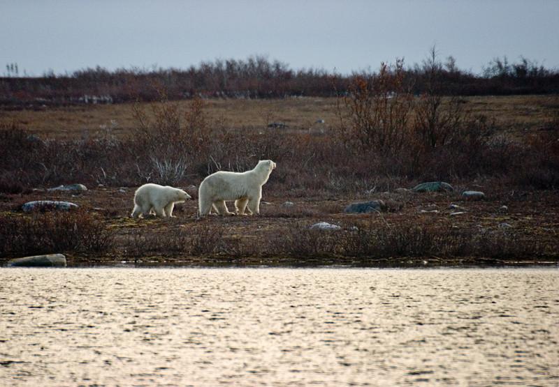 <center>Mom and Cub  <br><br>Churchill, Manitoba, Canada</center>