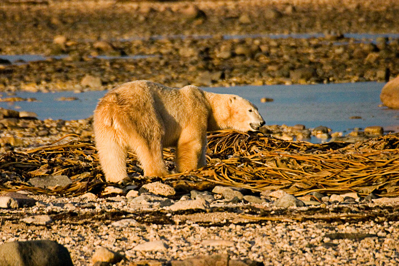 <center>Solitary Bear  <br><br>Churchill, Manitoba, Canada</center>