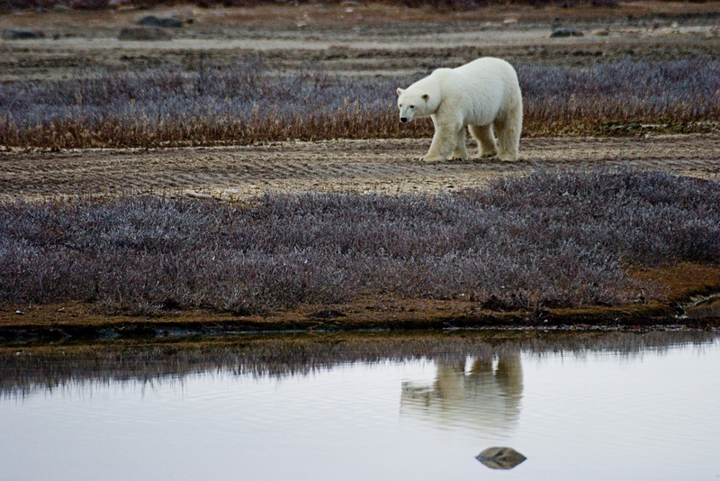 <center>Bear Reflections  <br><br>Churchill, Manitoba, Canada</center>