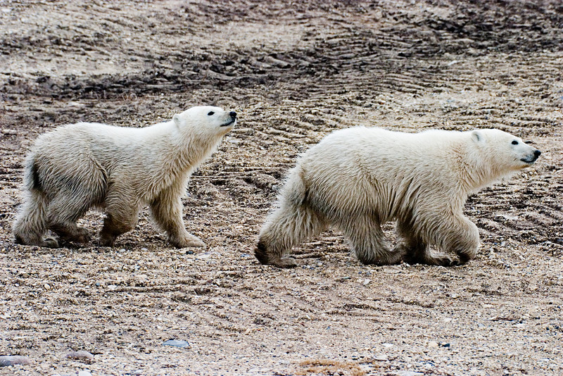<center>Two Cubs  <br><br>Churchill, Manitoba, Canada</center>