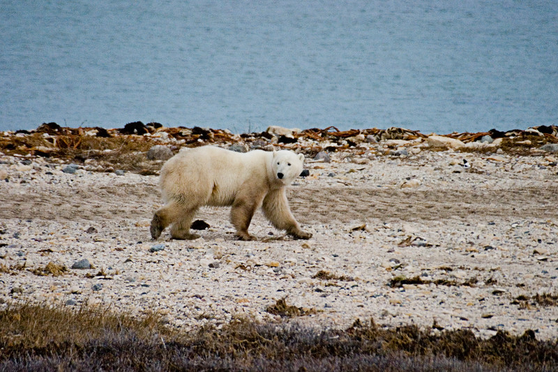 <center>Strolling Down the Road  <br><br>Churchill, Manitoba, Canada</center>