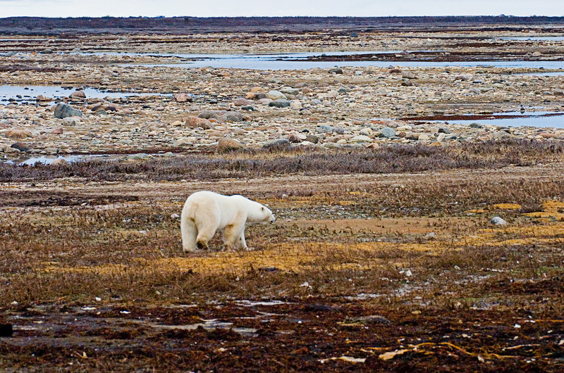 <center>Bear and Tundra  <br><br>Churchill, Manitoba, Canada</center>