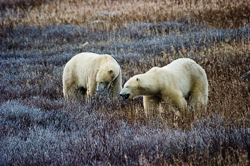 <center>Tuckered Out  <br><br>Churchill, Manitoba, Canada</center>