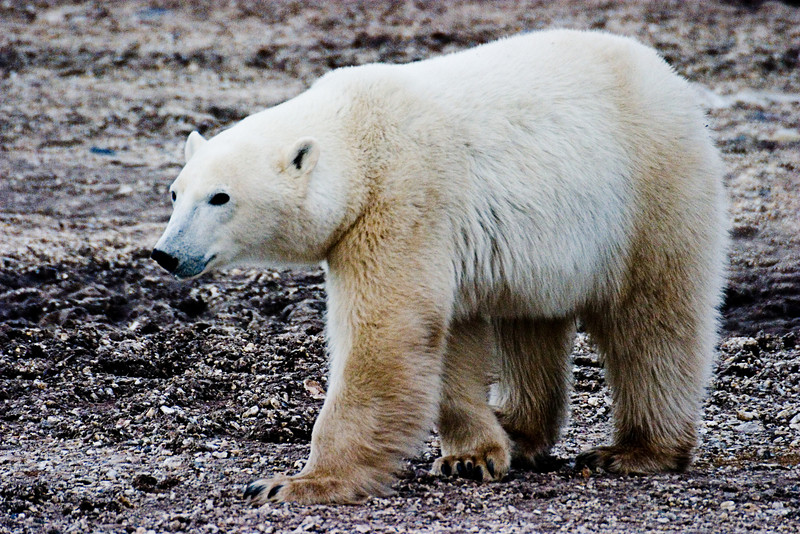 <center>Curious Bear  <br><br>Churchill, Manitoba, Canada</center>