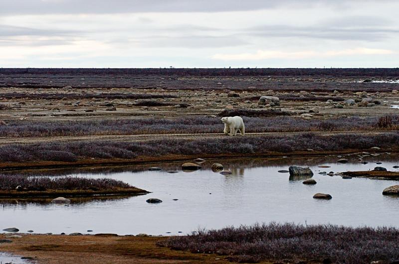 <center>Alone on the Tundra  <br><br>Churchill, Manitoba, Canada</center>
