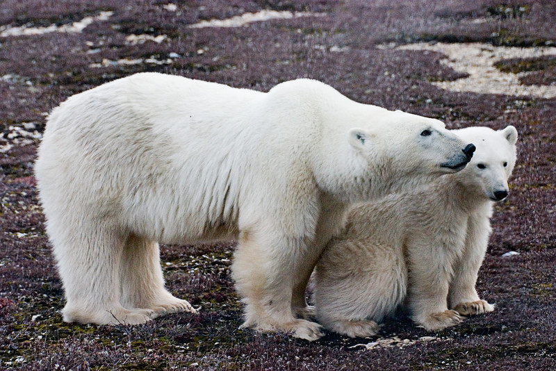 <center>Mother and Cub  <br><br>Churchill, Manitoba, Canada</center>