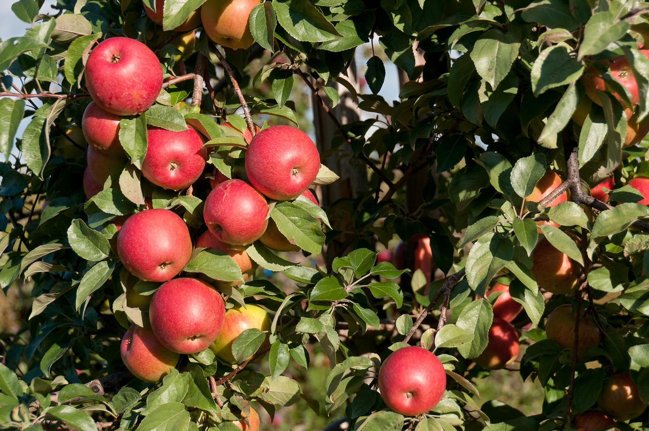 Ciders from a tree in Cidrerie Verger Bilodeau in Quebec, Canada