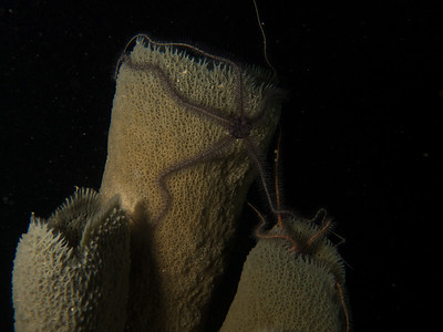 Brittle Stars night dive