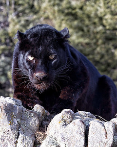 Black leopard wondering if you are for lunch