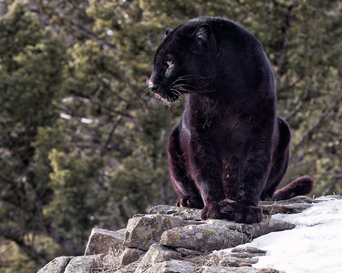 Black leopard looking over his domain