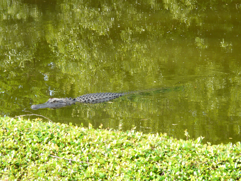 Alligator on Kiawah Island, South Carolina