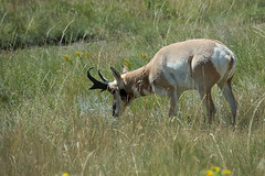 ...saw antelope play...