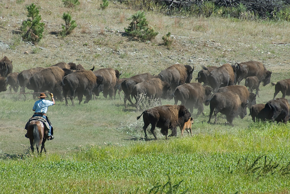 Buffalo round up in Custer State Park, South Dakota