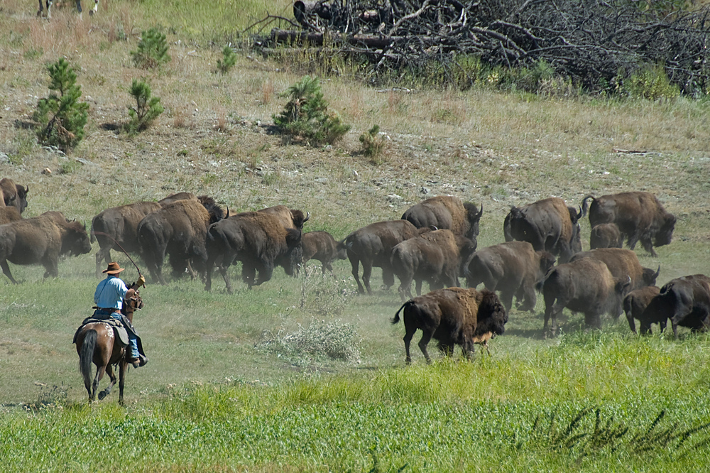 Bison round-up in Custer State Park, South Dakota