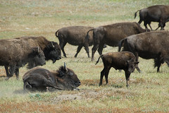 During my road trip I saw the buffalo roam...