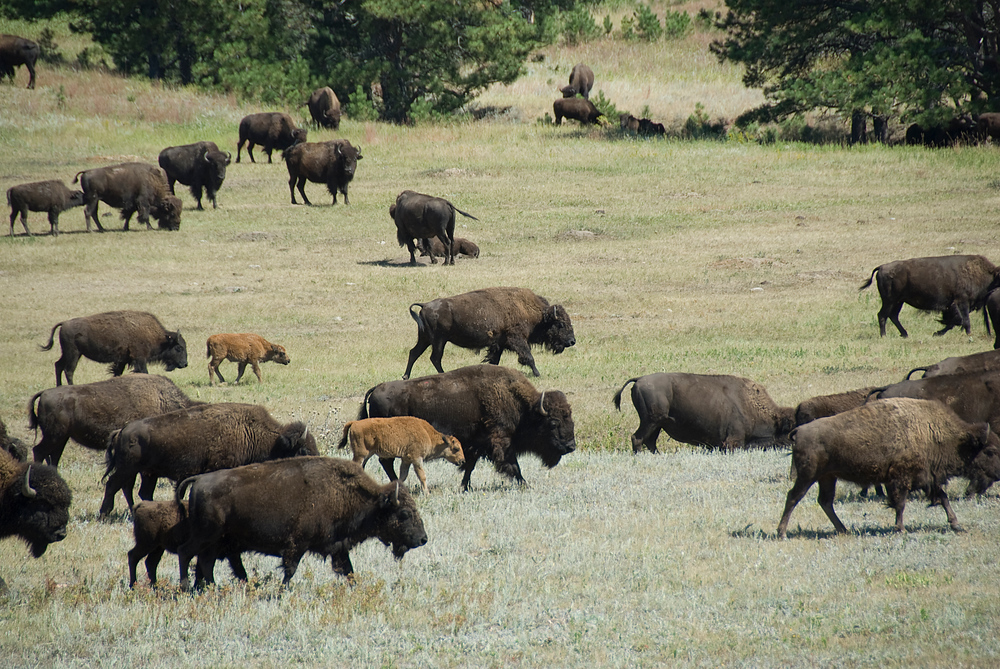 Baby bison in a bison roundup, Custer State Park, South Dakota
