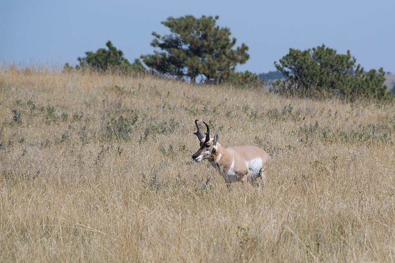 Pronghorn male custer in Black Hills, South Dakota