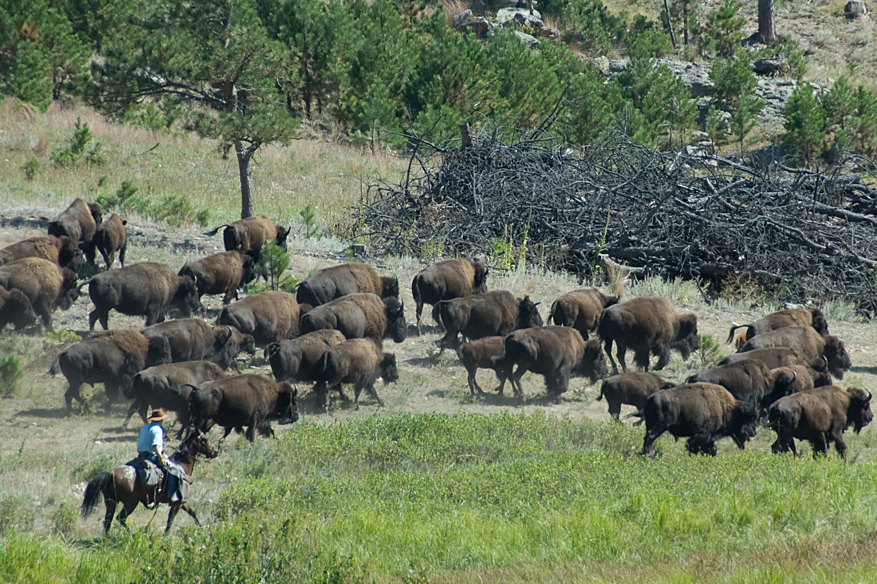 Bisons in Black Hills, South Dakota