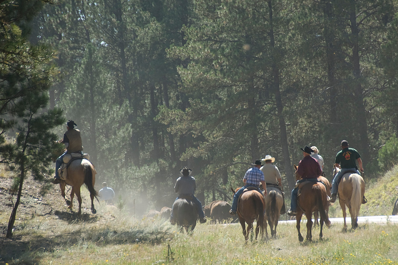 Bisons and horse back riders in Black Hills, South Dakota