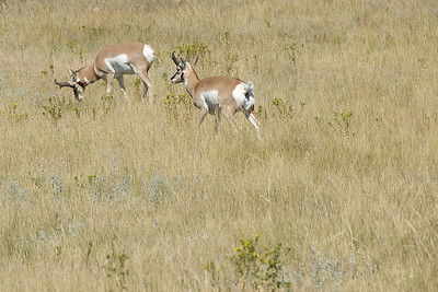 Pronghorn male custers in Black Hills, South Dakota